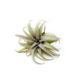 Tillandsia Capitata yellow Star