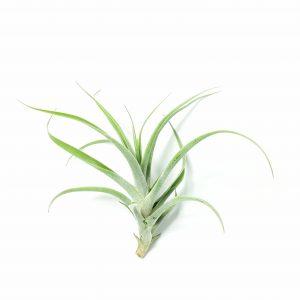 Tillandsia cacticola Hybrid M