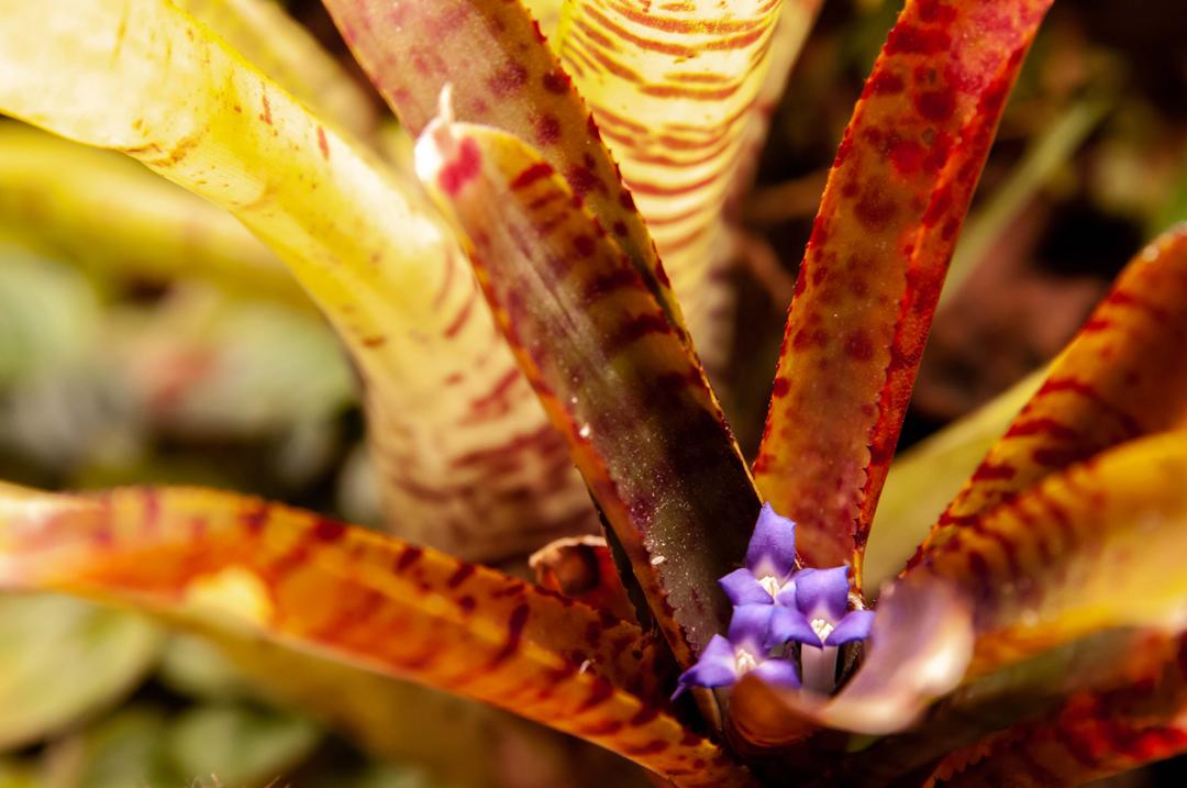Neoregelia to roślina tropikalna